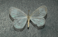 Eloria noyeris